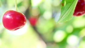 Cherries in the summer garden stock video footage