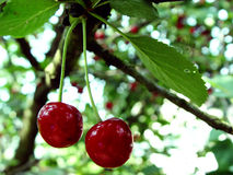 Cherries on a tree Royalty Free Stock Image