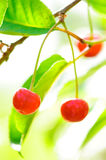 Cherries On Tree Royalty Free Stock Image