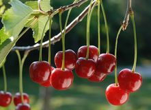 Cherries on the Tree Stock Image