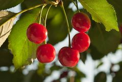 Cherries on the Tree Royalty Free Stock Images