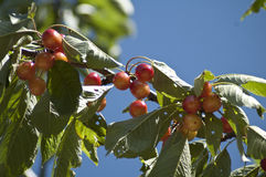 Cherries on a tree Royalty Free Stock Photo