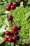 Cherries on the tree Royalty Free Stock Photography