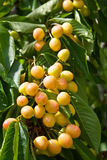 Cherries on Tree Stock Photography