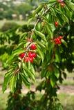 Cherries on Tree Stock Photography