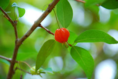 Cherries on a tree Stock Image
