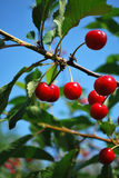 Cherries on the Tree Royalty Free Stock Photo