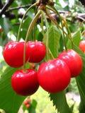 Cherries in the tree Stock Photos
