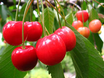 Cherries in the tree. Red cherries in the tree with leaves Royalty Free Stock Photography