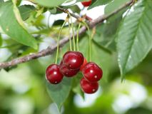 Cherries on a tree. Closeup of sour cherries on a tree Royalty Free Stock Images