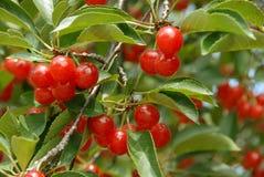 Cherries on the Tree Royalty Free Stock Photos