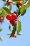Cherries on the Tree Stock Image