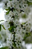 This is a cherries tree branch. Spring came. All the trees rush to blossom. This is a cherries tree branch Stock Photos