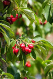 Cherries on a tree Stock Images