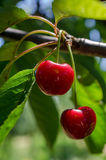 Cherries on a tree Stock Photography