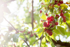 Cherries tree. In detail with sun rays stock photo