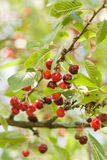 Cherries on tree. The detail of two cherries Stock Image