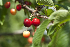 Cherries on tree. The detail of two cherries Stock Photos