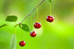 Cherries in the tree. Four cherries hanging on the branch of the tree Stock Image