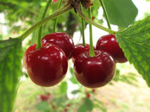 Cherries on the tree Royalty Free Stock Photos