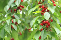Cherries tree with fruits Stock Photos