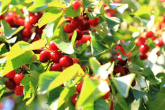 Cherries tree with fruits Stock Images