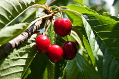 Cherries on the Tree Stock Images