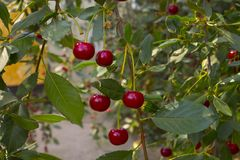 Ripe cherries on a branch royalty free stock image