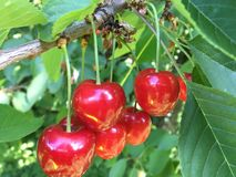 Cherries on a tree. Red cherries still hanging on tree Royalty Free Stock Image