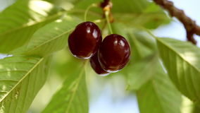 Cherries on a tree stock footage