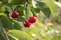 Cherries on a tree with water drops Stock Image