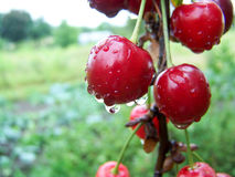Cherries with water drops. Cherry tree of cherries. Stock Photos