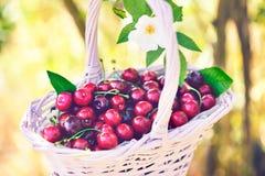 Cherries in wicker basket in garden royalty free stock photo