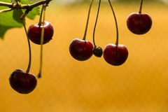 Cherries on the yellow background Stock Photography