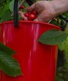 Cherriess het plukken Stock Fotografie