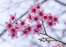 Cherrry blomning Royaltyfria Bilder