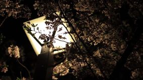 Cherrry blossom near Meguro river in Tokyo at night stock video
