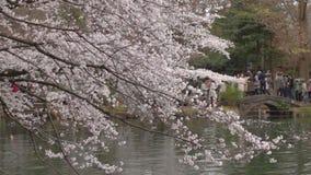 Cherrrybloesem dichtbij de vijver bij Inokashira-park in de dag van Tokyo stock videobeelden