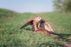 Cherrug с добычей, дикая фотография falco сокола saker хищной птицы природы стоковая фотография
