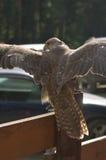 Cherrug de faucon Photographie stock libre de droits