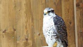 Cherrug Falco сокола Saker вид захватнических птиц сток-видео