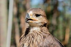 Cherrug Falco, хищная птица Стоковые Изображения RF