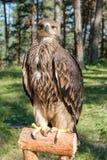 Cherrug Falco, хищная птица Стоковая Фотография RF