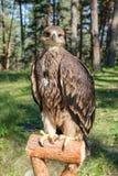 Cherrug Falco, хищная птица Стоковая Фотография