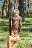 Cherrug Falco, хищная птица Стоковое Изображение RF