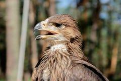 Cherrug Falco, хищная птица Стоковые Фото