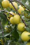 cherry śliwki Zdjęcie Royalty Free