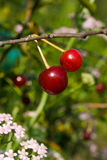 Cherry. Berries with pink yarrow on background Royalty Free Stock Images
