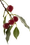 Cherry. Two ripe cherries on a white background Stock Image