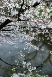 Cherry. The cherry trees were in full blossom Royalty Free Stock Photos